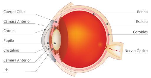 Anatomía del Ojo - Centro Privado de Ojos